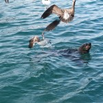 hout-bay-seal (3)