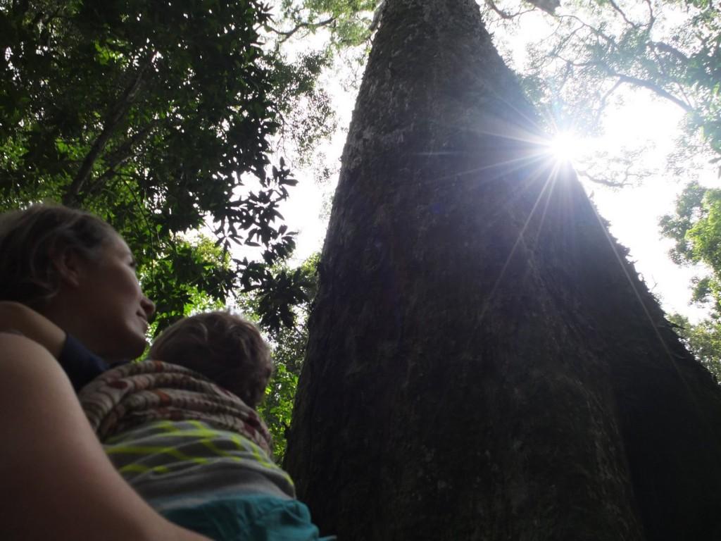Tsitsikamma-big-tree