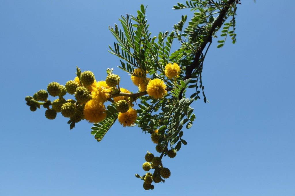 Acacia karroo à Johannesburg