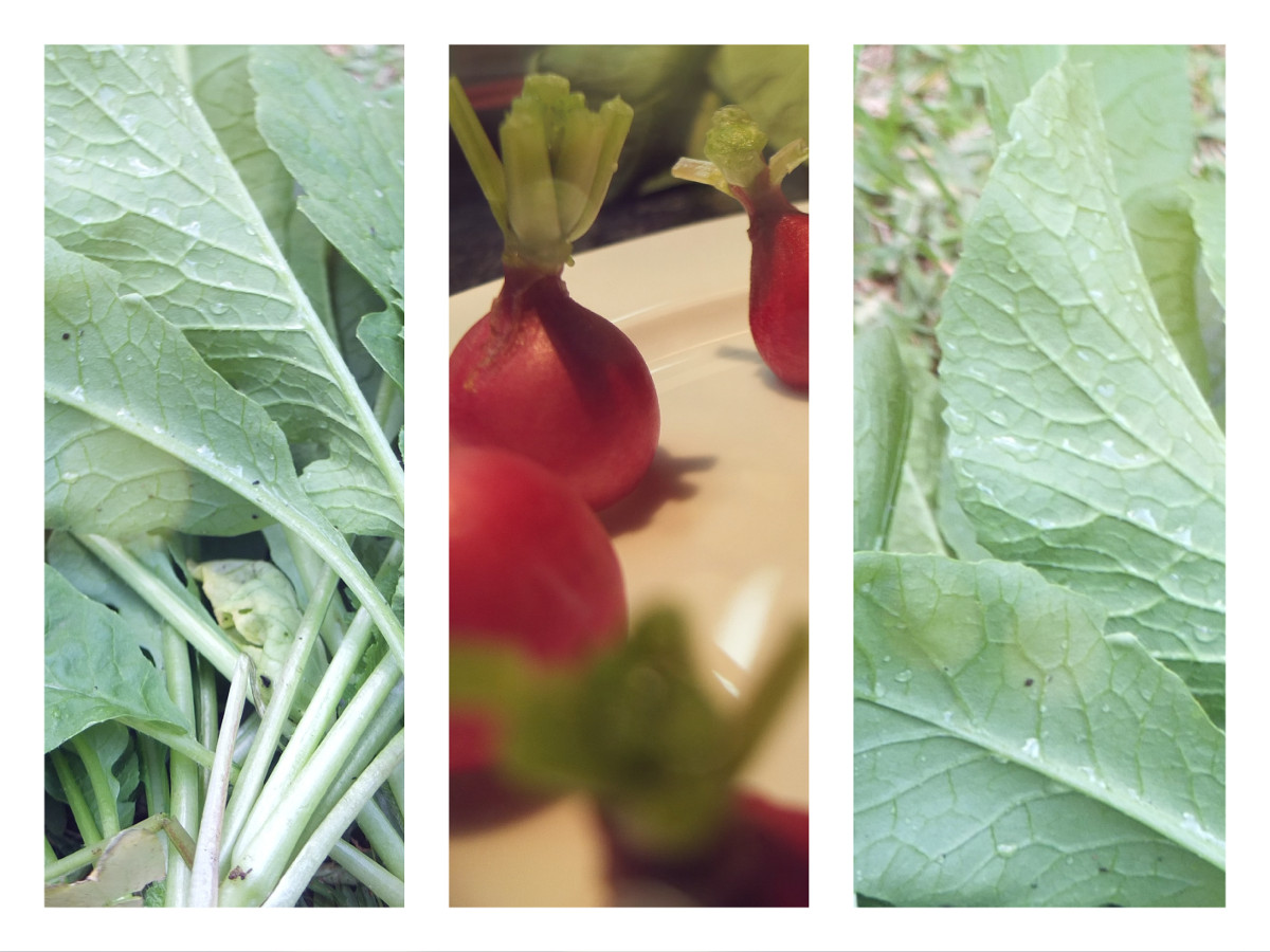 eco recette 3 tartinade de fanes de radis du jardin. Black Bedroom Furniture Sets. Home Design Ideas
