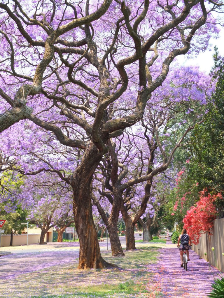 Bicycle in Pretoria with Jacarandas