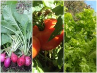 tomate-radis-salade