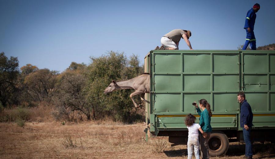 Libération d'une antilope dans une ferme du Free State