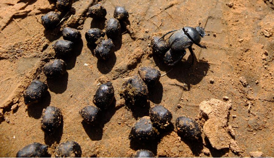 bousier-somabula