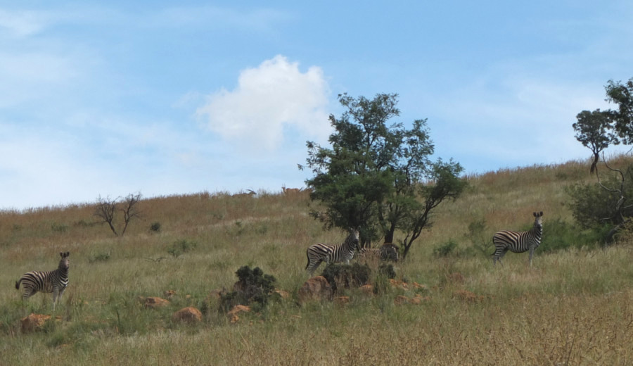 Zebras in Somabula