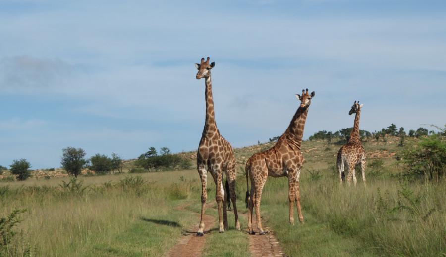 Girafes à Somabula, Afrique du Sud